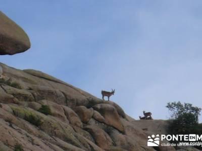 Cabra montés (Capra pyrenaica) - rutas senderismo en madrid; grupos de montaña madrid